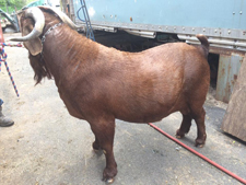 for sale goat 2
