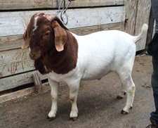 for sale goat 7