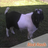 Black Head Boer Goats