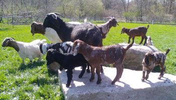 Kid Boer Goats with Does